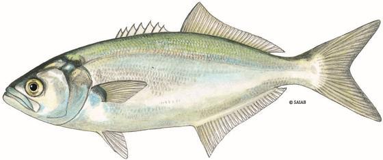 Pacific Rock Fish Recipe